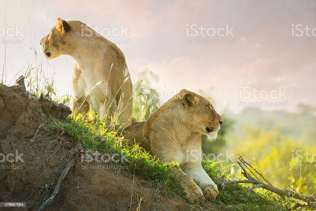 Lions in Kruger Wildlife Reserve stock photo