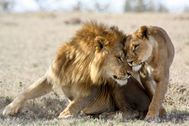 lions in love - lioness stock photos and pictures