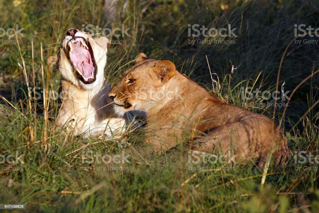 Lion's in the Chobe national park stock photo