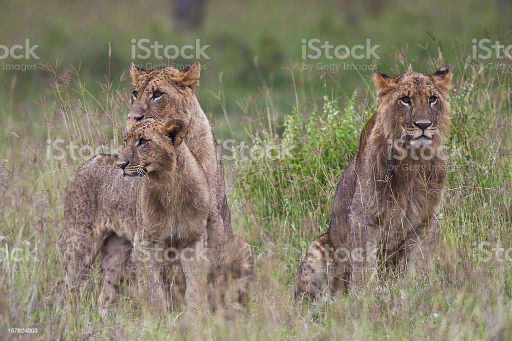 Lions in the Lake Nakuru National Park royalty-free stock photo