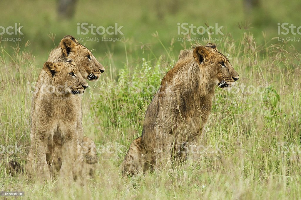 Lions in the Lake Nakuru National Park royalty-free stock photo