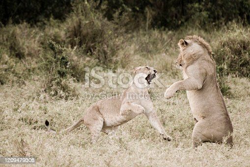 Lions in the Masai Mara, Kenya, Africa