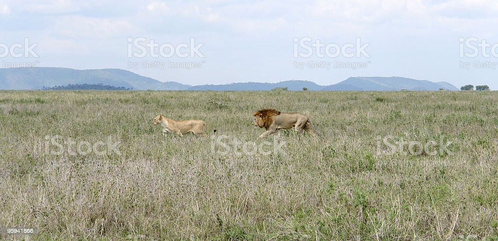 Lions in the savannah royalty-free stock photo