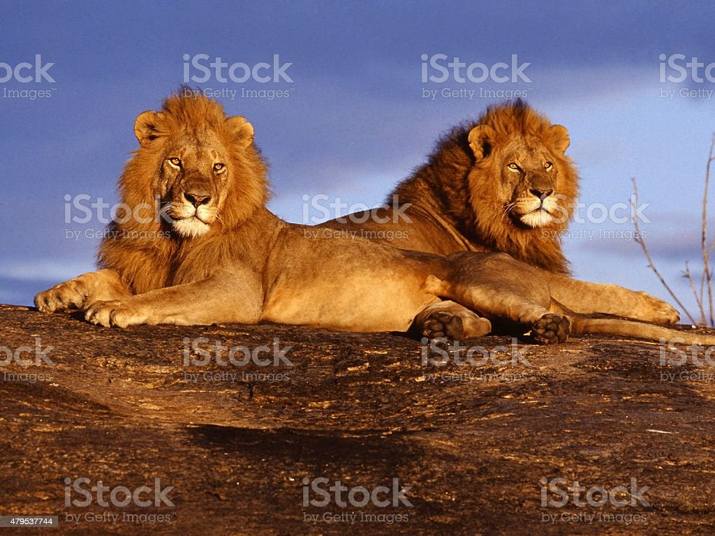 Lions in there naural habitat stock photo