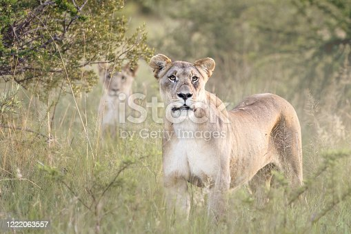 2 lions looking directly at camera on safari