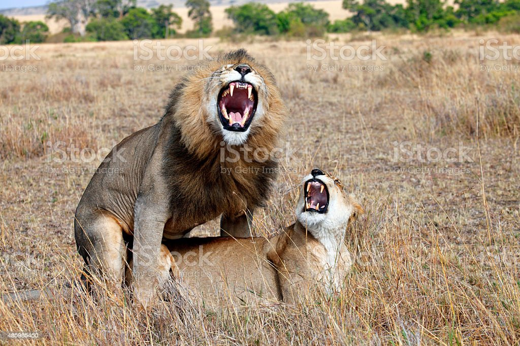 Lions love stock photo