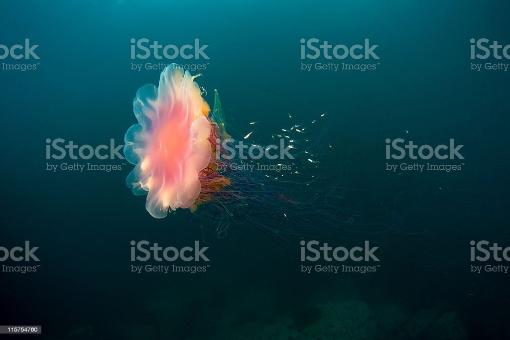 lion's mane jellyfish under water in sea of japan stock photo