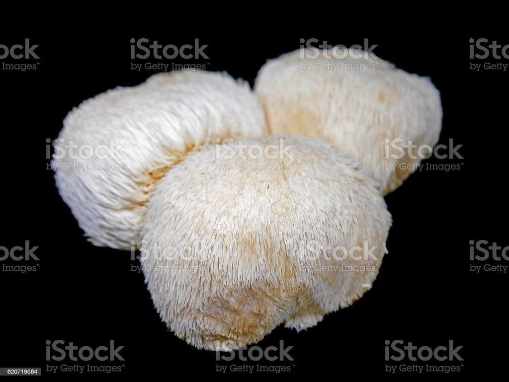 Lion's mane mushroom on black background stock photo