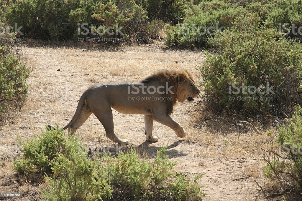 Lions Mating 1 royalty-free stock photo