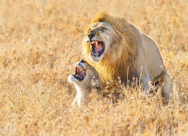 lions mating in the serengeti savanna, tanzania africa - wildlife stock photos and pictures