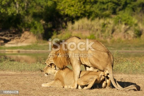 African Lions are mating many times per day