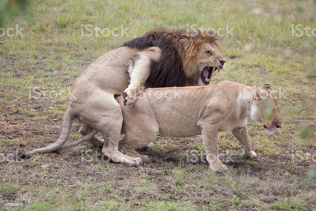 mating lions animals animal intercourse humans sexual human africa pheromones try same mara masai reserve east national istockphoto wild