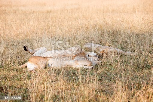 A close-up photo of a pride of lions sleeping in Tanzania within a conservancy resting.