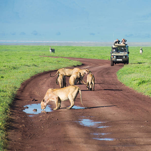 Lions on African Safari in Tanzania Lions drinking in road on African safari with vehicle and tourists in background ngorongoro conservation area stock pictures, royalty-free photos & images
