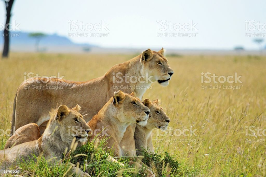 Lions on watch stock photo