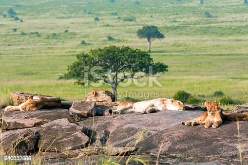 Tired Lions resting and sleeping on rocks