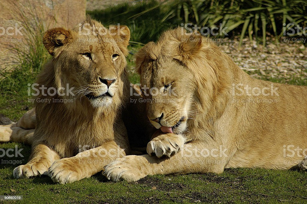 Lions royalty-free stock photo