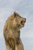 Lion - Feline, Animal, Animal Head, Animal Mane, Big Cat