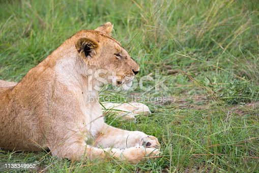 The lions rest in the grass of the savanna