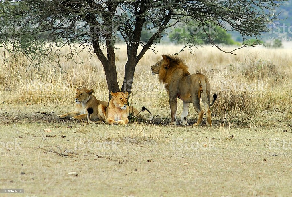 Lions resting in shade of acacia tree,Serngeti National ParkTanzania stock photo