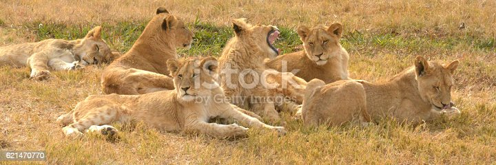 Lions resting in the late afternoon sun, South Africa