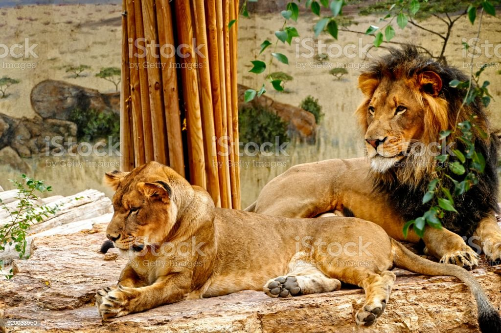 Lions Resting stock photo