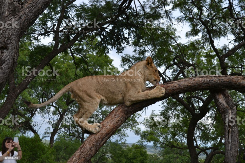 Lions Resting royalty-free stock photo
