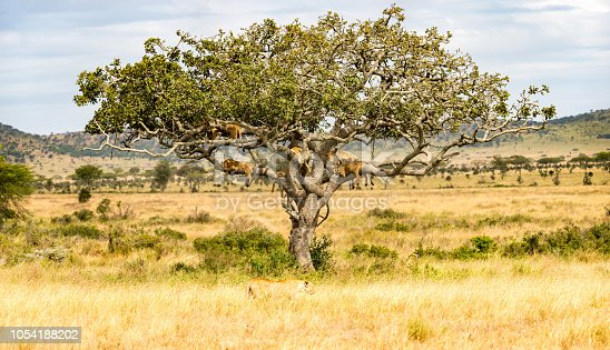 There are 7 lionesses in this picture. 6 are in the tree to escape the days heat and bug that will be on the ground