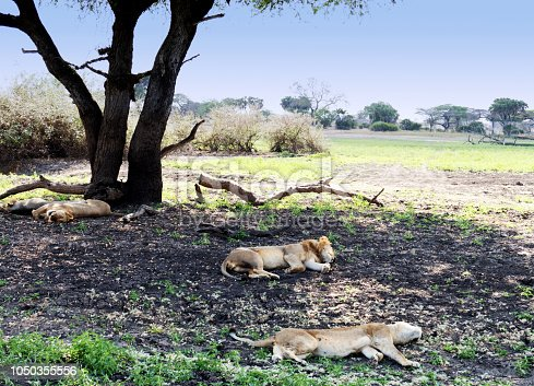 Small group of lions resting  in the shade of the tree.