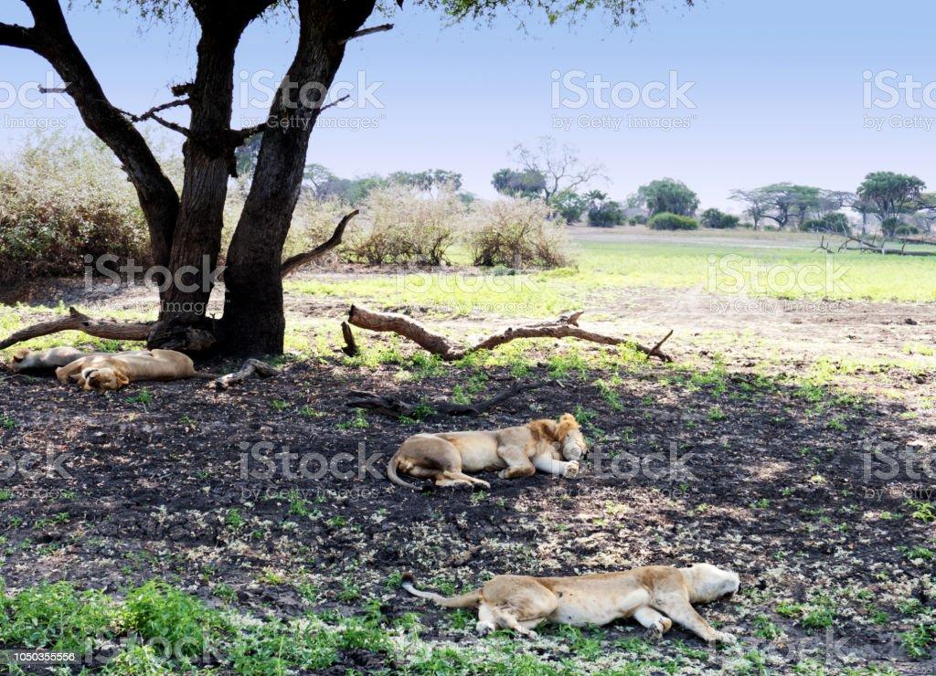 Lions de sieste dans le gibier de Selous en Tanzanie - Photo