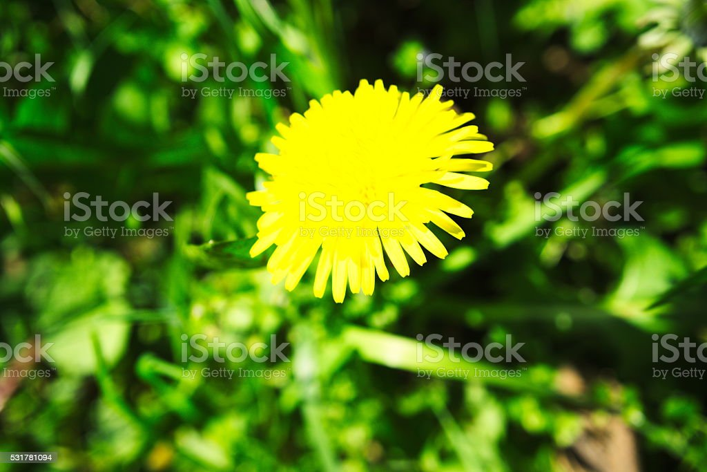 lion's tooth stock photo