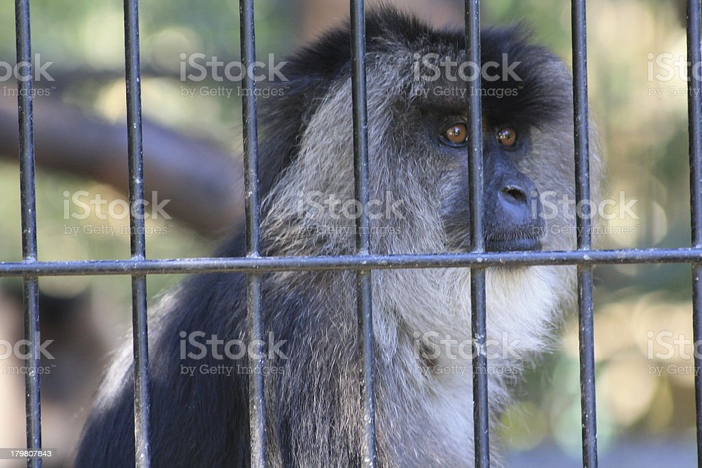 Lion-Tailed Macaque royalty-free stock photo