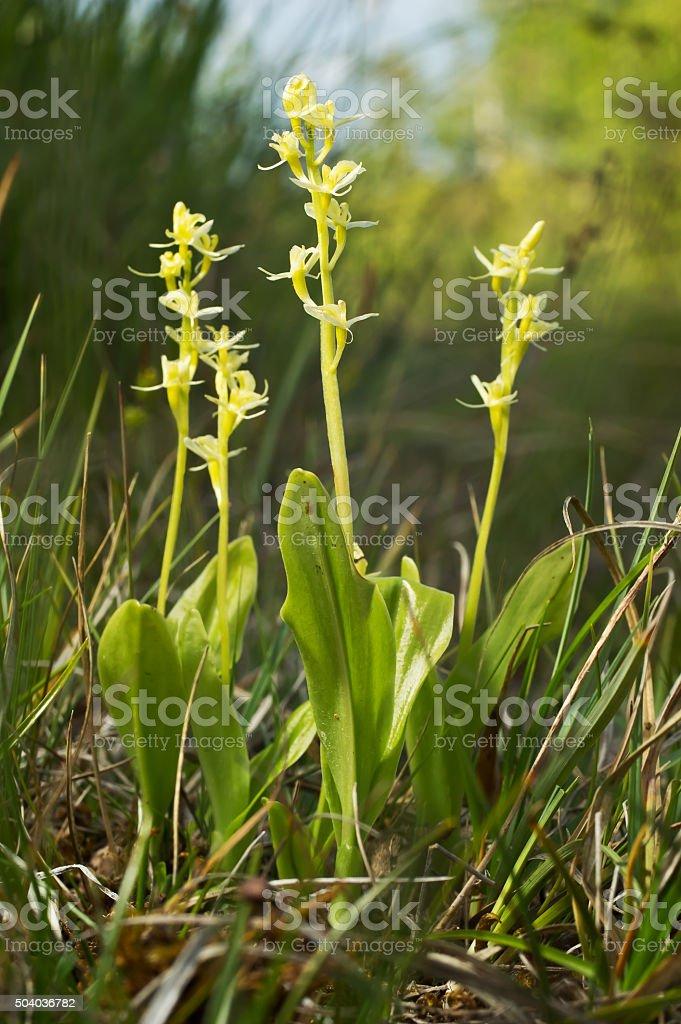 Liparis loeselii, fen, amarelo widelip orchid. Florescendo flores, ambiente natural. - foto de acervo