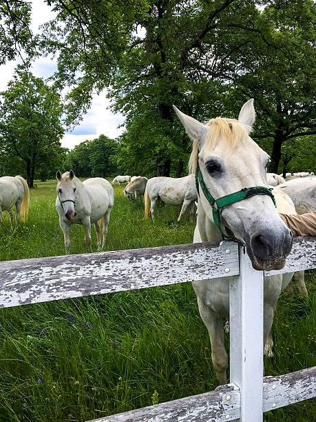 Lipizzan White Horses in Lipica Ranch, Slovenia ストックフォト