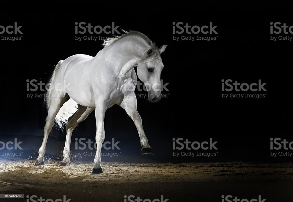 Lipizzaner horse playing royalty-free stock photo