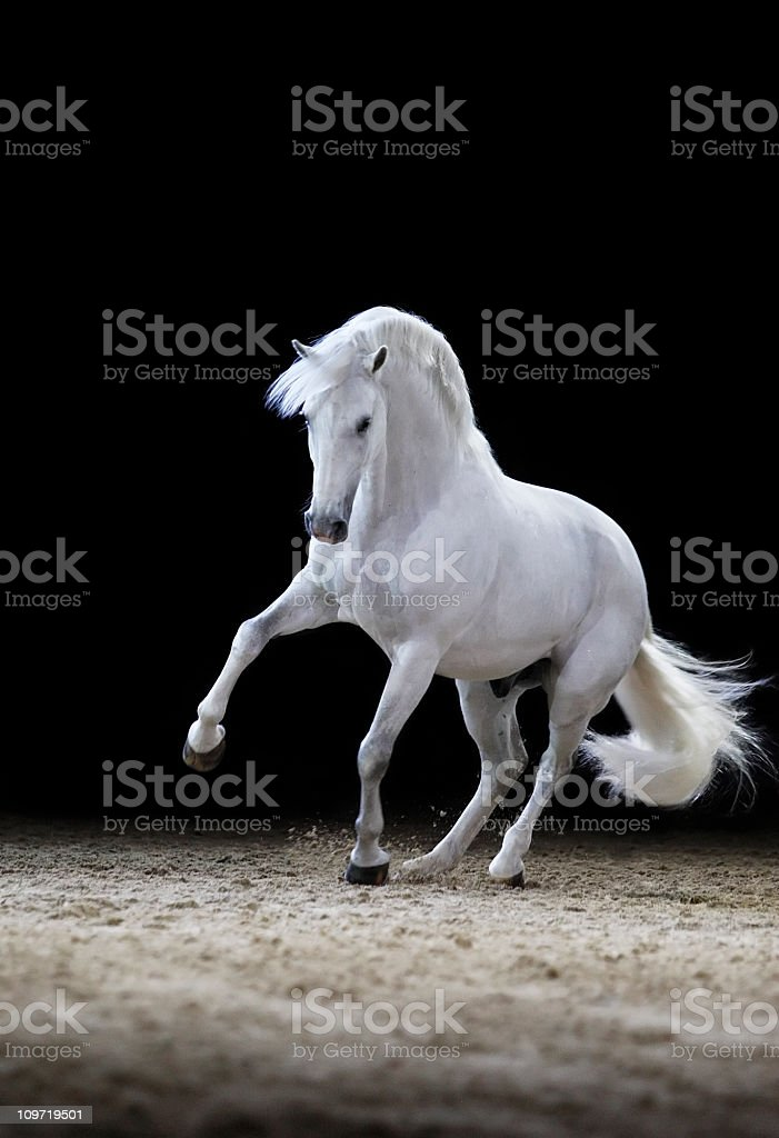 Lipizzaner horse stallion playing stock photo