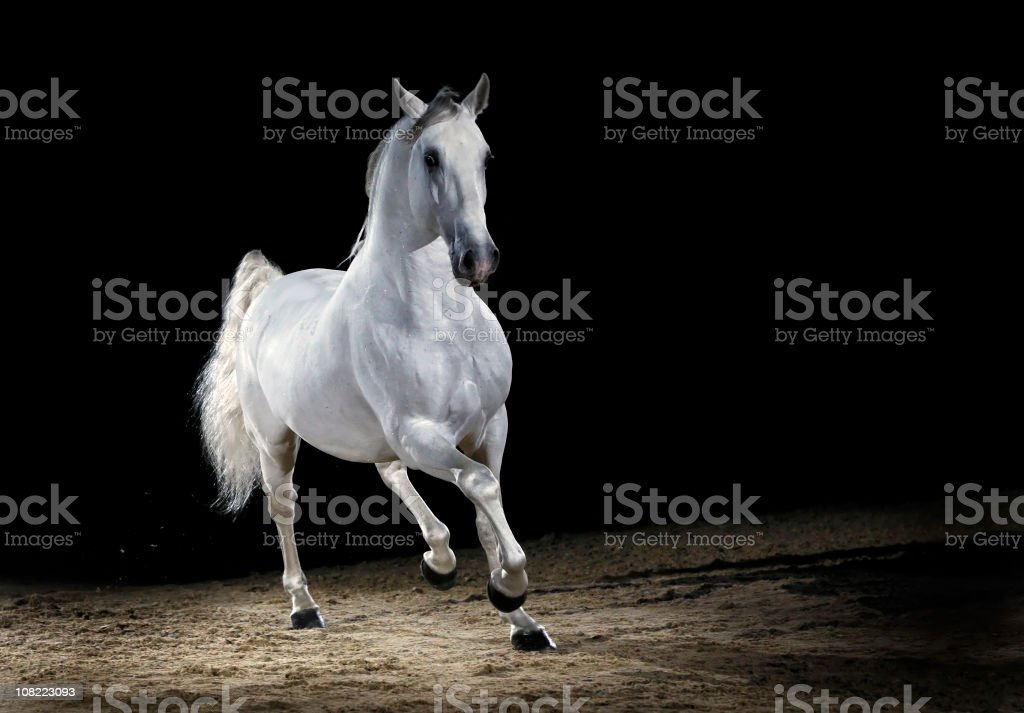 Lipizzaner horse stallion trotting stock photo