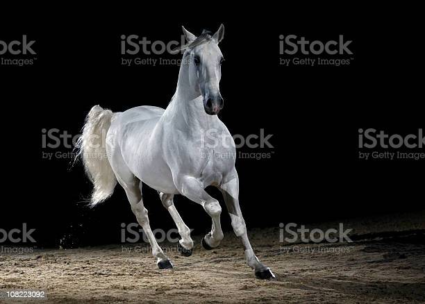 Lipizzaner horse trotting picture id108223092?b=1&k=6&m=108223092&s=612x612&h=07yzptsnozi 5edakome1mrd2vhkmsbt8 qqjeaebwo=