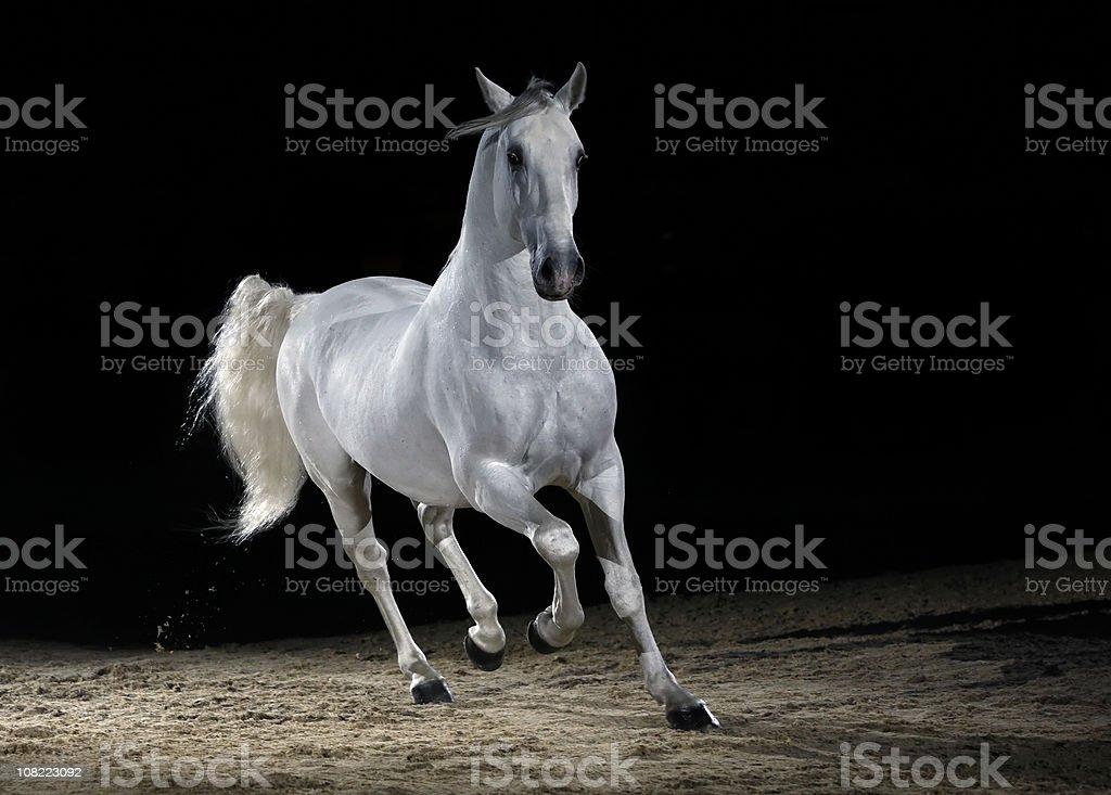 Lipizzaner horse trotting stock photo
