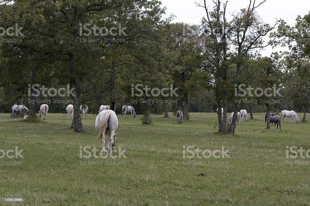 Lippizan Horses royalty-free stock photo