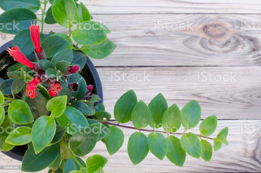 Lipstick vine(Aeschynanthus radicans jack) on wooden background royalty-free stock photo