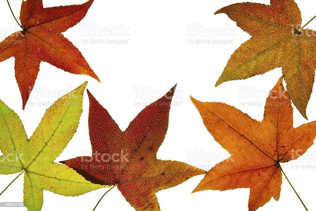 Liquid Amber Tree Fall Leaves Backlit stock photo