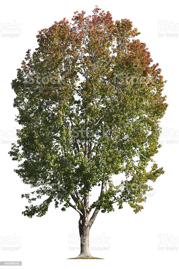 Liquid Amber Tree stock photo