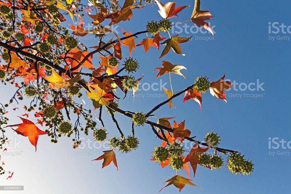 Liquidambar branch in autumn - Rama de Liquidambar en otoño stock photo