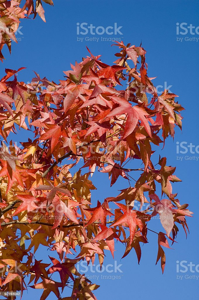 Liquidambar Foliage against pure blue sky stock photo