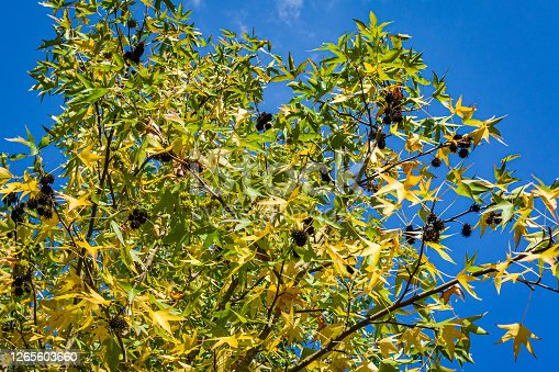 Liquidambar Styraciflu tree commonly called American sweetgum (Amber tree). Gold and green leaves and spiky black balls of seeds against blue autumn sky. Nature concept for design.