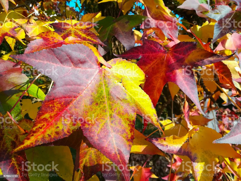 Liquidambar styraciflua, commonly called American sweetgum, in fall season with Its red, orange and yellow leaves stock photo