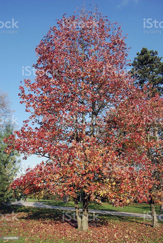 Liquidambar styraciflua in autumn stock photo