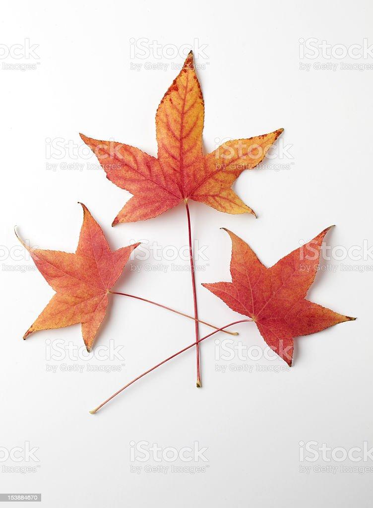Liquidambar Tree Leaves stock photo