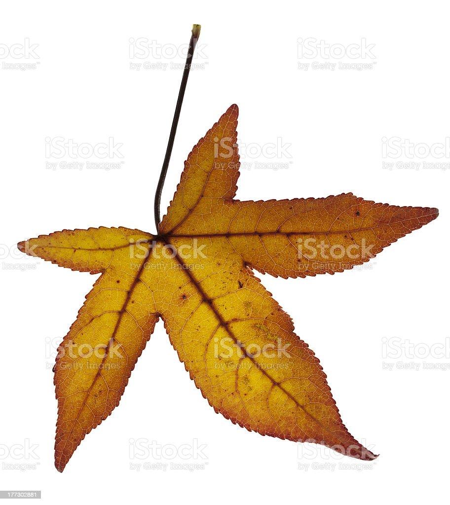 Liquidambar yellow golden autumn leaf isolated on white background stock photo